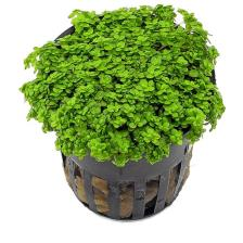 Carpeting Plants