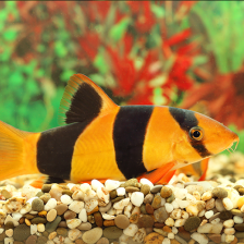 Tropical fish for sale online allpondsolutions for Tropical fish for sale online