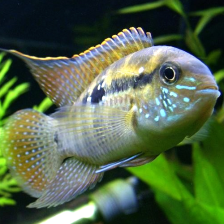 Live Cichlids for Sale - Allpondsolutions