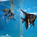 Breeding Pair of Marbled Angel Fish - Pterophyllum Scalare