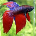 Assorted Male Fighters - Betta splendens