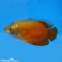 Blood Red Dwarf Gourami Male