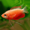 Red Honey Gourami - Trichogaster chuna