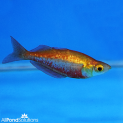 Red Rainbow - Glossolepis incisus