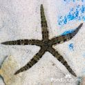Sand Starfish - Archaster typicus