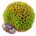 Natural Color Artificial Green / Red Brain Coral LPS