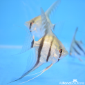 Striped Angel - Pterophyllum Scalare