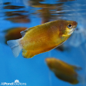 Thick Lipped Gourami - Trichogaster labiosa