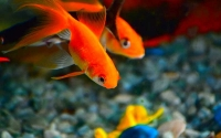 Top 10 Goldfish Varieties - A beginner's guide to Goldfish