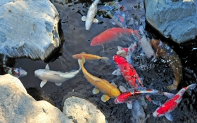 Can I add fish to my pond in the winter?