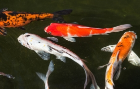 Shop Koi Fish at All Pond Solutions