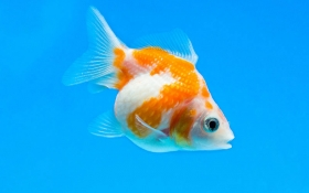 The Different Types of Goldfish