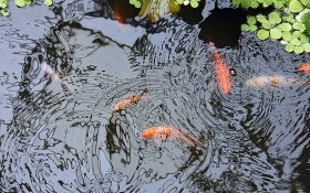 How Many Fish Can Your Pond Hold?