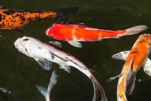How To Not Kill Your Koi