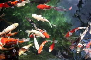 The Great Pond Debate: Goldfish or Koi?