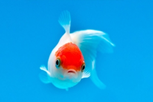 The Fish Files : Goldfish