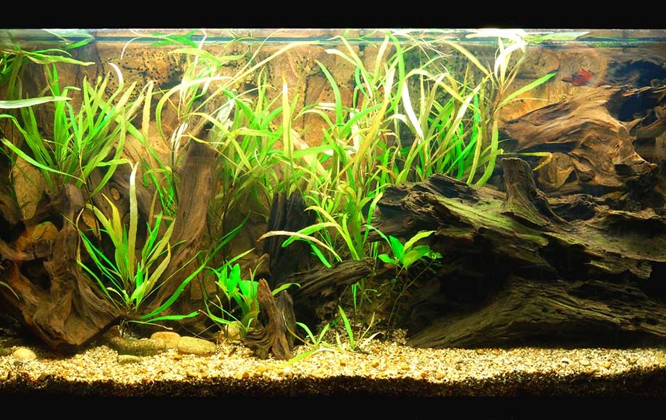 What Is A Temperate Tank And What Fish And Plants Can You Keep
