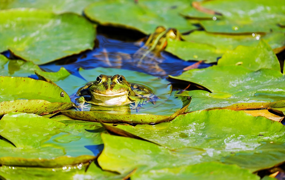 How to Create a Frog Friendly Pond
